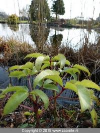 helleborus argutifolius blad leaves