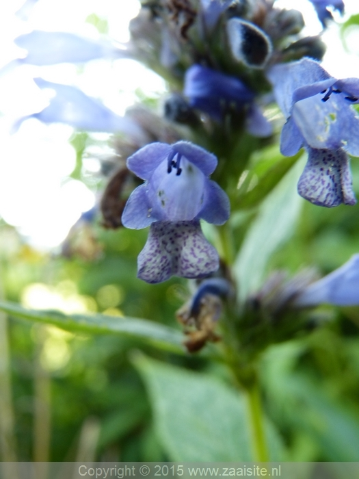 nepeta subsessilis blue dreams
