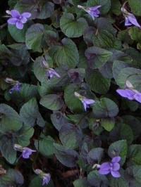 viola labradoria purpurea