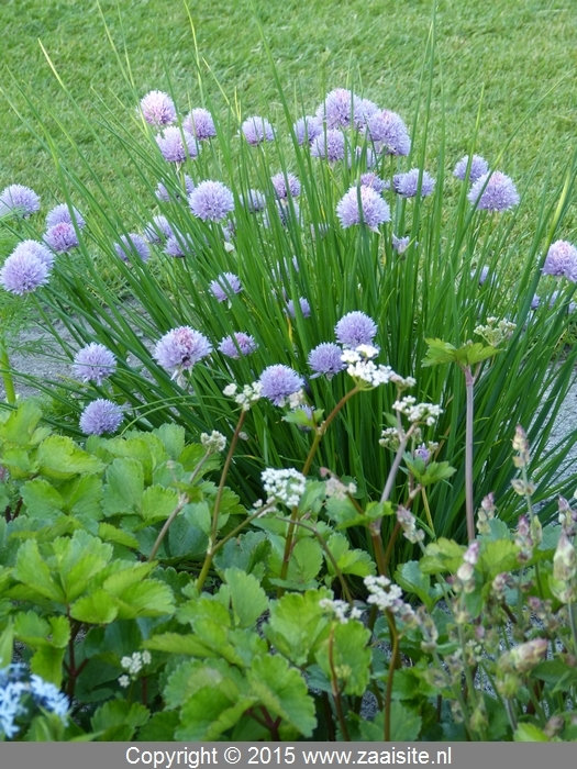 allium siberian chives