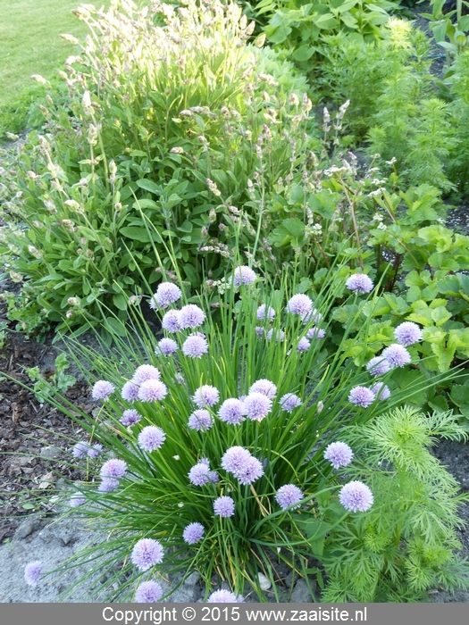 allium nutans siberian chives