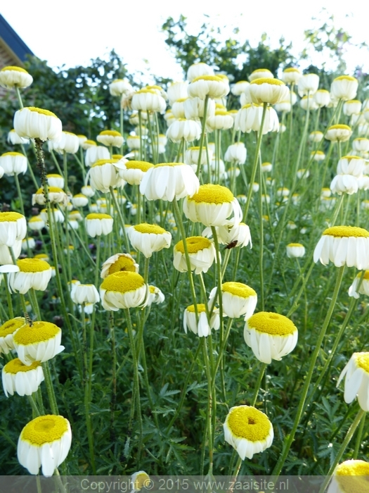 anthemis cally cream