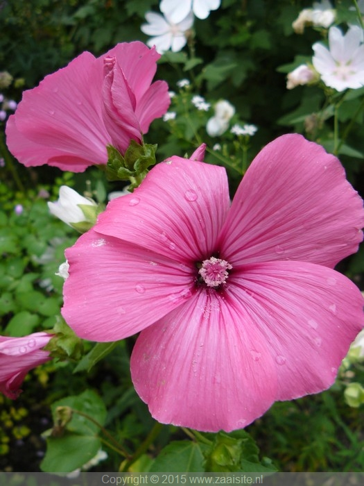 lavatera trimestris pink beauty