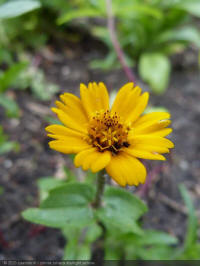 Zinnia Zahara Starlight Yellow