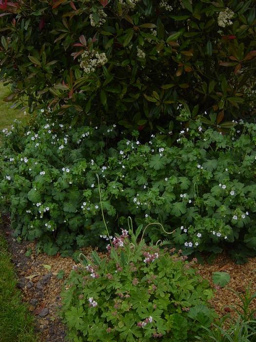 Geranium pyranaicum album