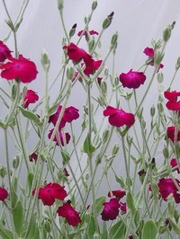 lychnis coronaria red