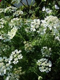 orlaya grandiflora, straalscherm, kantbloem,