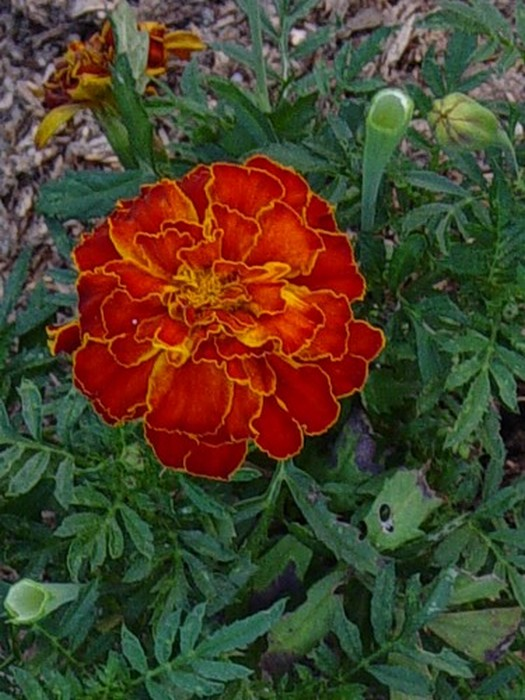 Tagetes patula nana Red Cherry