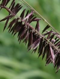 melica altissima Atropurpurea