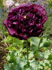 papaver paeoniflorum Black Paeony