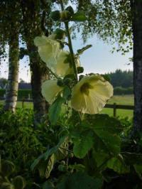 alcea ficifolia zachtgeel