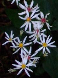 aster divaricatus witte bosaster
