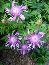 centaurea hypoleuca john coutts