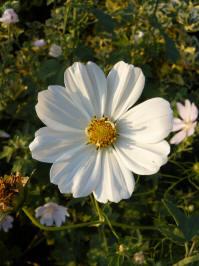 cosmos bipinnatus sonata white