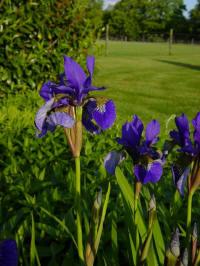 iris siberica blue king siberische lis