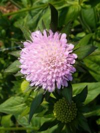 knautia arvensis, echte beemdkroon
