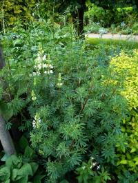 Lupine arboreus - struiklupine zaaien, opkweken, zaden ...