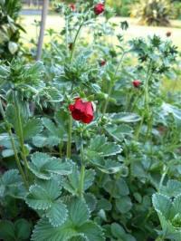 potentilla gibsons scarlet