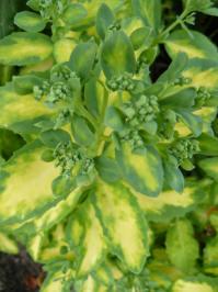 Sedum erythrostictum