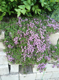Thymus praecox var. minor