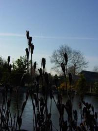 iris siberica zaaddozen