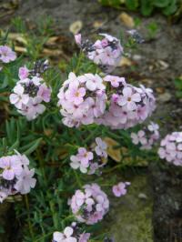 aethionema cordifolium