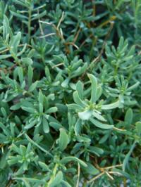 aethionema cordifolium blad