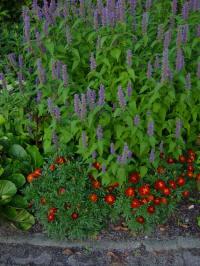 Agastache foeniculum Dropplant groep