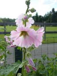 alcea rosea frilled pink