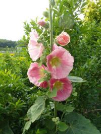 alcea rosea peach