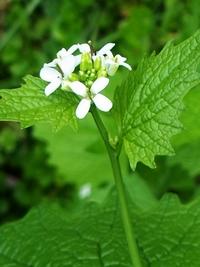 alliaria petiolata look zonder look