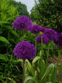 allium aflatuense purple sensation