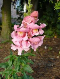 antirrhinum majus ribbon rose - leeuwenbek
