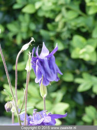 aquilegia blue double - dubbele akelei