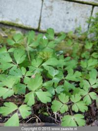 aquilegia ecalcarata, dwergakele, blad