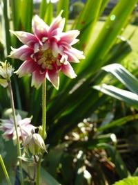 aquilegia nora barlow - akelei