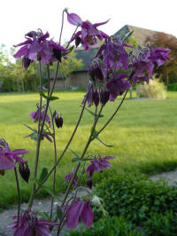 aquilegia royal purple