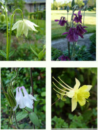 aquilegia surprise
