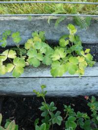 aquilegia woodside gold