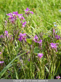 arabis blepharophylla - randjesbloem