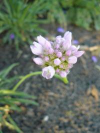 armeria pseudoarmeria bees hybrids pinky