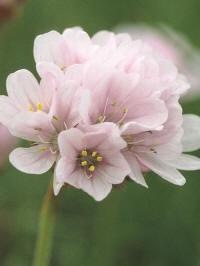 armeria pseudoarmeria bees hybrids softly pink