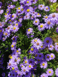 aster amellus blue king