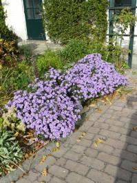 aster amellus violet queen bergaster