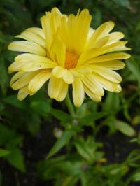 Calendula Buttermilk Baby