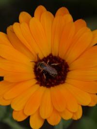 calendula little orange - tuingoudsbloem