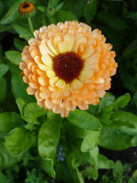 calendula officinalis pink surprise