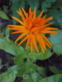 calendula spider, goudsbloem