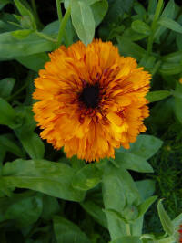 Calendula Touch of Red Mixed