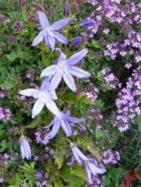 campanula poscharskyana thymus praecox